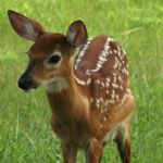 Doe... A Deer by beatlechik
