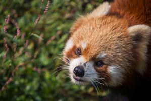 Red Panda by cathy001