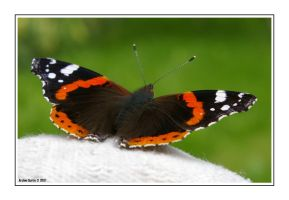 Butterfly by ArchieC