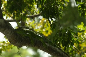 Iguana Lounging in a Tree by CobaltBrony