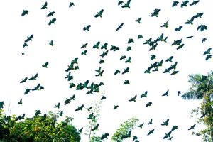 Parrots in flight - Amazon by wildplaces