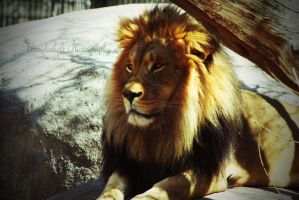 Lion 2 by Thunderbolt-Designs