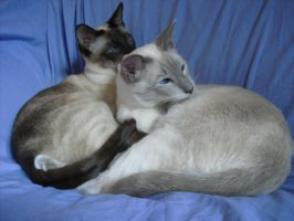 Siamese Brothers by Lady---Vengeance