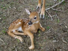 First 2013 fawn! by Autumns-Harvest