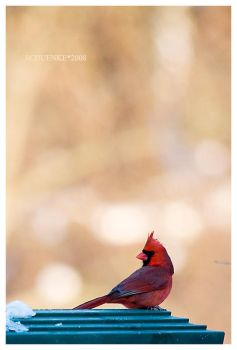 Winter Cardinal... by PacIslander2