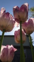 Purple and White Tulips by AnnaLVG
