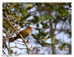 Cardinal in a Pear Tree by Cillana