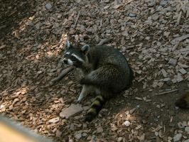 racoon 07 by Pagan-Stock