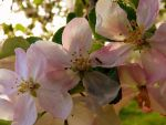 Apple Blossom 2 by jellybear07