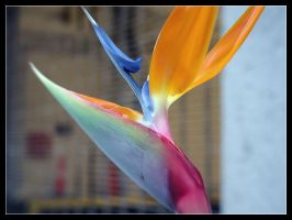 bird of paradise by mutato-nomine