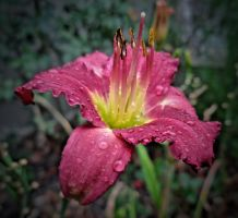 HDR Wet Daylilly by TheBirdsFeathers