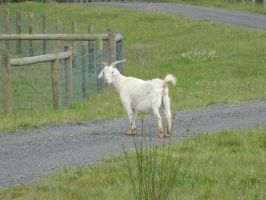 Goat 001 - HB593200 by hb593200