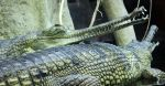 Gharials by rattino