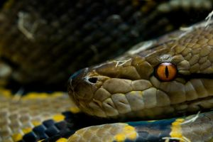 Reticulated python by poisonous