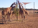 I fed those giraffe by mauritan1a
