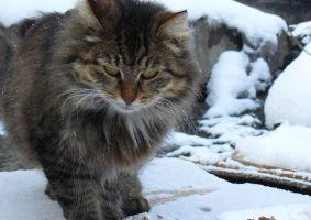 Winter cat by Anna-Belash