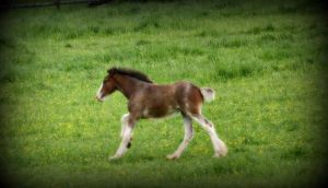 Clydesdale Foal III by LHufford