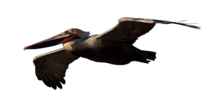 STOCK Brown Pelican Flying (with Alpha Layer) by netzephyr