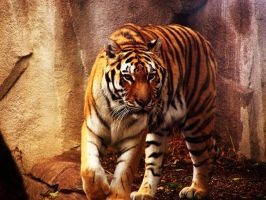 tiger by IllRebel2Anything