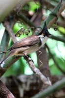 Red Whiskered Bulbul by s-kmp