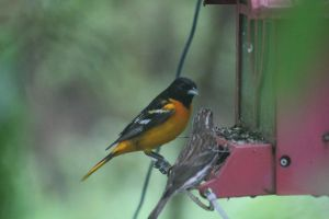 Male Northern Oriole by LaurieSalzler