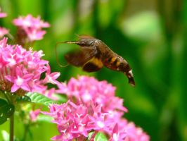 Hummingbird moth by guspath