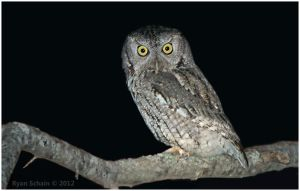 Eastern Screech Owl by Ryser915