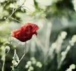Poppy by AntiqueLockWise