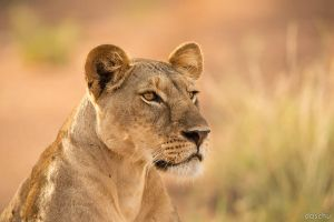 Lion in the morning light by DaSchu