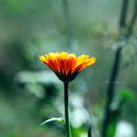 Flower 36 by EngrossingMoment