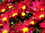 Pink Daisies by AndehDulac