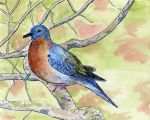 Passenger Pigeon by Cuthillius