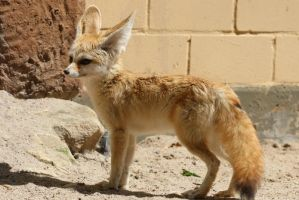 Fennec Stock 06 by Malleni-Stock