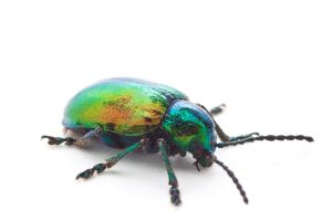 Dogbane Beetle by ribbonworm