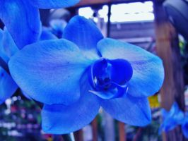Blue Mystique Orchid. III by BabsxStock