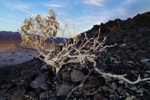 Desert Holly Growing in Shale by Elijah-Snow