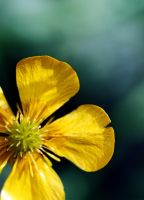 Meadow Buttercup by boxx2genetica-stock