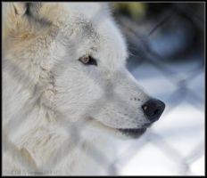 Arctic Wolf Profile by sillverrfoxx