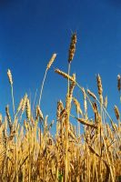 wheat field. by seancadzow