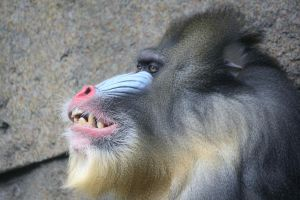 mandrill by striffle