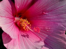 Hibiscus by rongiveans