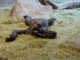 Gorilla Rest and Relaxation by MistyBlue2010