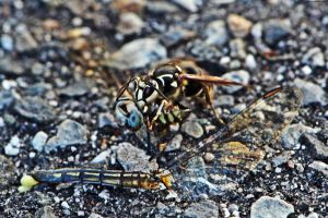 Bald-Faced Hornet Eating  A Blue Dasher by WickedOwl514