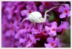 Crab Spider by deoroller