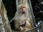 Baboon by NobodySin
