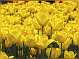 Yellow Tulip by WhiteWay