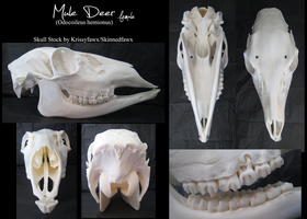 Skull Stock: Mule Deer Doe by Krissyfawx