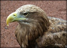 The Sea Eagle by Estruda