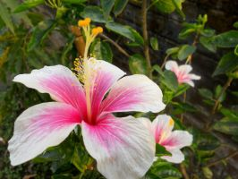 Cheerful Hibiscus by RKsaikia