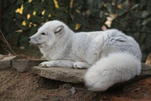 Arctic Fox Stock 4 by HOTNStock